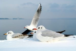 The seagulls love the snow.